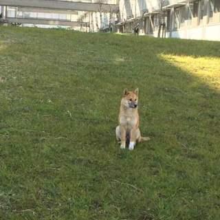 柴犬?雑種?若松区の迷い犬