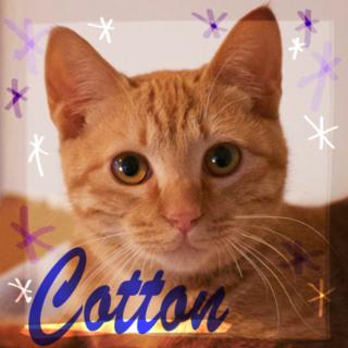 生後半年茶トラ天然♡遊ぶの大好き甘えん坊コットン