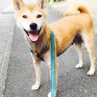 脂漏症の治療をしてもらえず、飼育放棄された柴犬