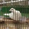 白鳩(2羽)
