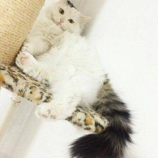 【池袋マルイ譲渡会2/26】長毛白三毛のシシちゃん