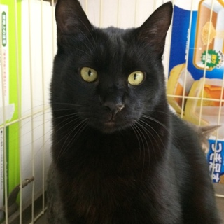 優しい黒猫くん 里親さん募集中