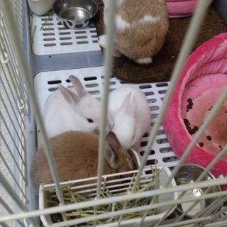 ネザーランドドワーフミニウサギのMIX3羽