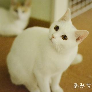 美人で甘えん坊の白猫あみちゃん