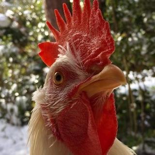 綺麗な白い雄鶏です