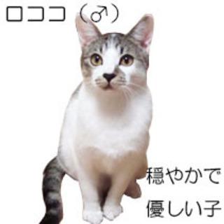 仔猫の面倒まで見る穏やかで優しい白キジ猫の男の子