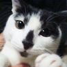 賢く丈夫でおもちゃ大好きな白黒猫の男の子 サムネイル2
