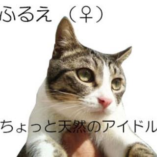 ちょっと天然のんびり大人しい鼻ピンク白キジ猫女の子