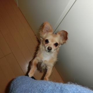 チワワ&ダックスMIX犬2.5kgコン君