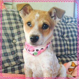 ビーグル風の可愛い仔犬