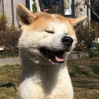 キリっとした顔ですが笑顔がかわいい秋田犬のオス