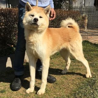 とても優しい性格の秋田犬 オス 6歳