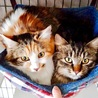 仲良し三毛とキジの半長毛美猫姉妹