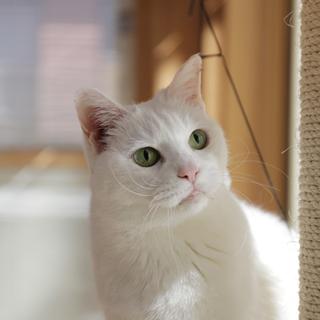 きれいなシニアの白猫さん