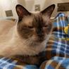 ネグレストから解放されたシャム系猫、チャーコくん サムネイル4