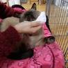 ネグレストから解放されたシャム系猫、チャーコくん サムネイル7