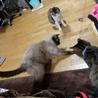 ネグレストから解放されたシャム系猫、チャーコくん サムネイル5