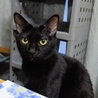 多頭飼い崩壊現場から保護ツンデレ黒猫ちゃん里親決定 サムネイル2
