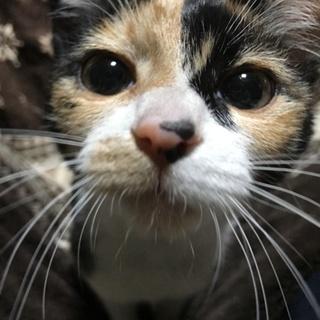 三毛猫の女の子里親さん募集します!