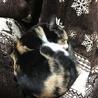 三毛猫の女の子里親さん募集します! サムネイル7