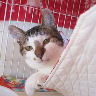 元気な幼猫ショボの里親さま募集。