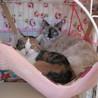 シャム系幼猫エテちゃんの里親さま募集。