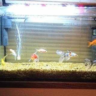 レア金魚8匹と水槽一式お渡します!