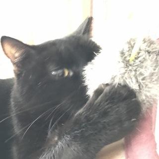 遊び大好き 黒猫 アメショmix  春で2才