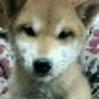 保護した柴子犬4ヶ月ちゃーちゃん