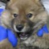 助けてください!生後約3ヶ月の子犬です!