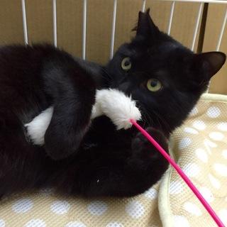 人懐っこい 黒猫サビ猫姉弟 弟 黒 10ヶ月 ♂