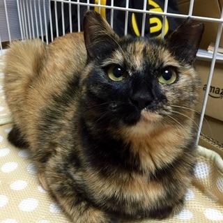 人懐っこい黒猫サビ猫姉弟 姉 サビ 10ヶ月 ♀