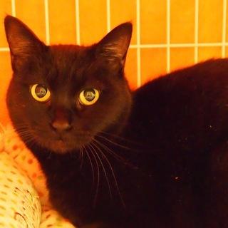 もっちり体型で可愛い黒猫の女の子