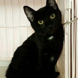 大黒6ヶ月齢人懐こく優しいクロ子猫