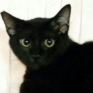 恵比寿6ヶ月齢、ちょっと怖がりな優しいクロ子猫