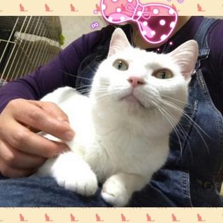 3/25(日)神戸譲渡会 りんご猫シルクちゃん
