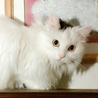 珍しい長毛の白三毛シシちゃん
