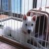 紀州犬(オス) 生後3か月