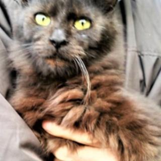 久留米/黒猫 やや長毛