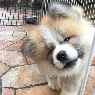 秋田犬 子犬(長毛)