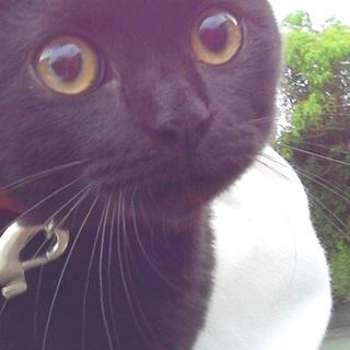 クリクリ目の黒猫