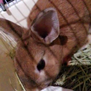 生後3ヶ月前後のミニウサギちゃん