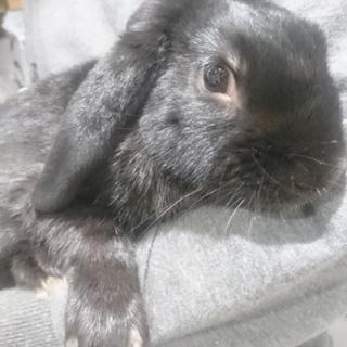 ホーランドロップイヤー真っ黒ウサギ垂れ耳