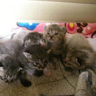 可愛い子猫5匹の新しい家族を探しています。