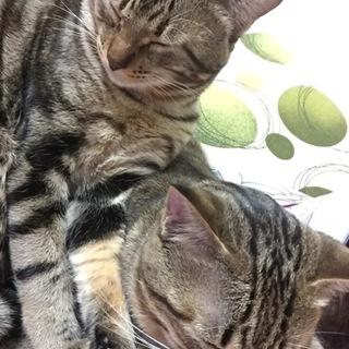 愛猫ちゃんの里親募集