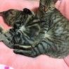 愛猫ちゃんの里親募集 サムネイル2