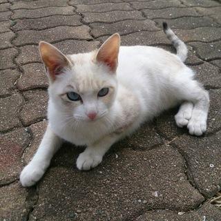 白、キジ、白茶猫ちゃんの募集です。