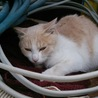 白、キジ、白茶猫ちゃんの募集です。 サムネイル3