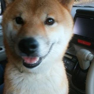 イケメン柴犬 モコモコ王子です