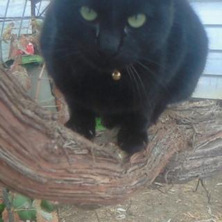かわいい黒猫ちゃんの里親募集